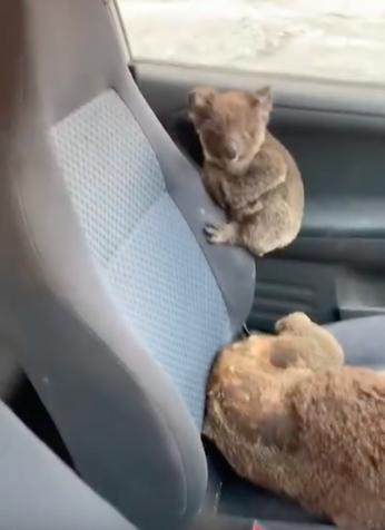 jovens salvam coalas ao coloca los no carro2 - Jovens australianos salvam coalas ao colocá-los no carro