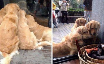 13 fotos que provam que os golden retrievers sao dos melhores cachorros de sempre 356x220 - Início