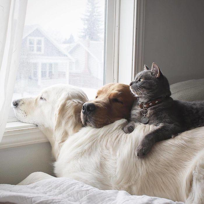 13 fotos que provam que os golden retrievers sao dos melhores cachorros de sempre10 - 13 fotos que provam que os Golden Retrievers são dos melhores cachorros de sempre