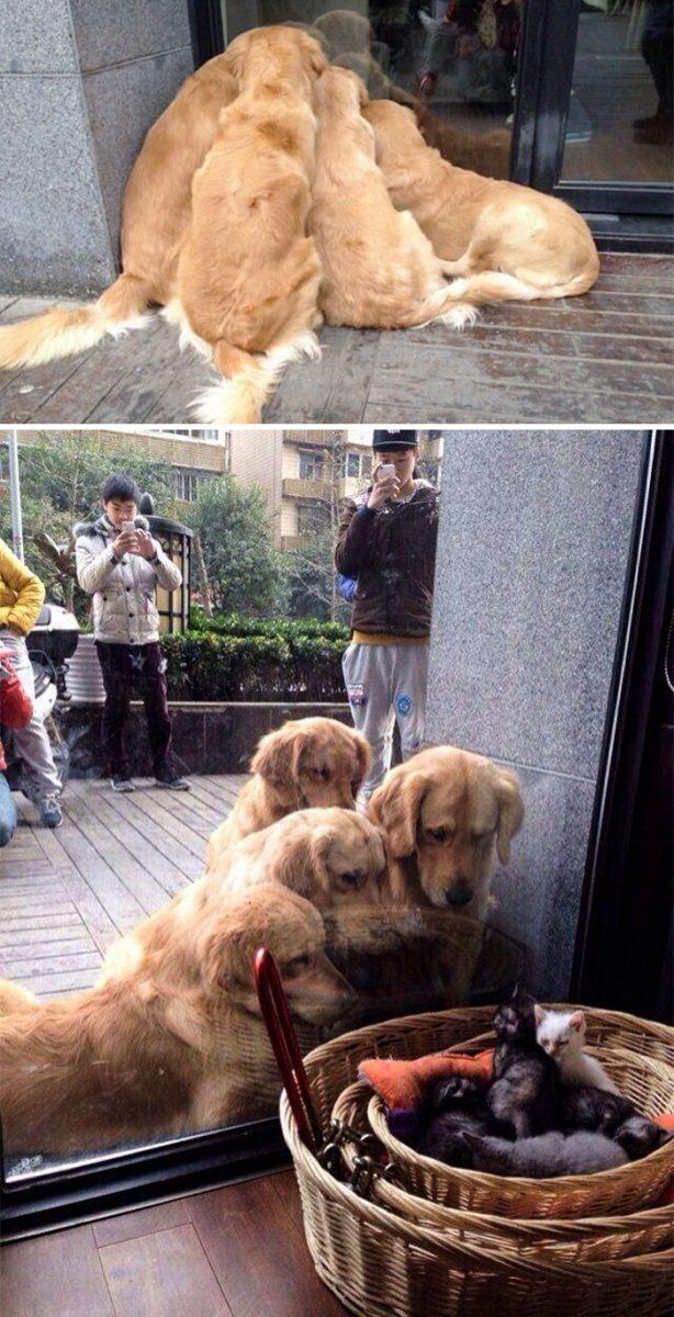 13 fotos que provam que os golden retrievers sao dos melhores cachorros de sempre12 scaled - 13 fotos que provam que os Golden Retrievers são dos melhores cachorros de sempre