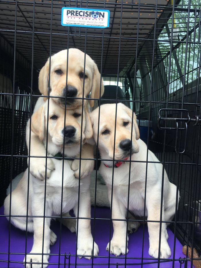 13 fotos que provam que os golden retrievers sao dos melhores cachorros de sempre2 - 13 fotos que provam que os Golden Retrievers são dos melhores cachorros de sempre