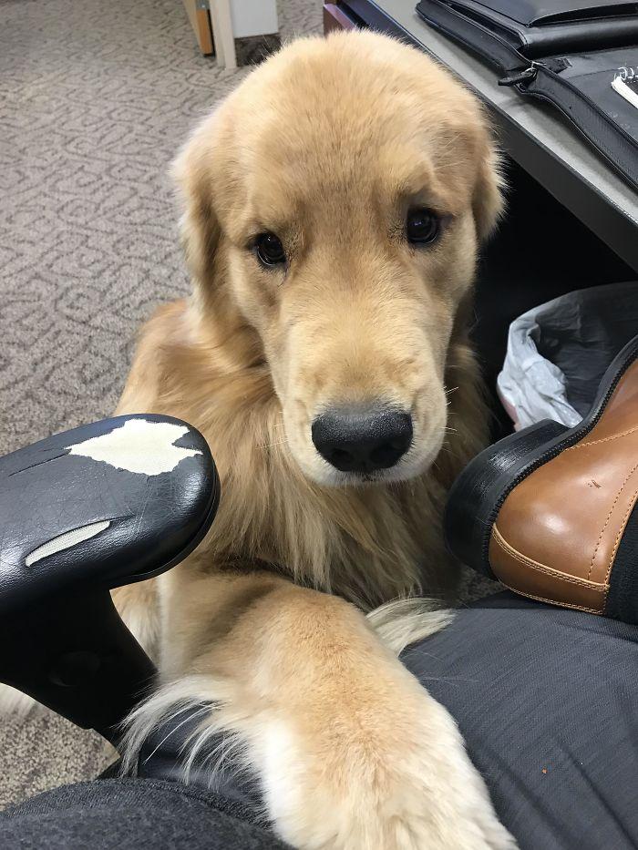 13 fotos que provam que os golden retrievers sao dos melhores cachorros de sempre4 - 13 fotos que provam que os Golden Retrievers são dos melhores cachorros de sempre
