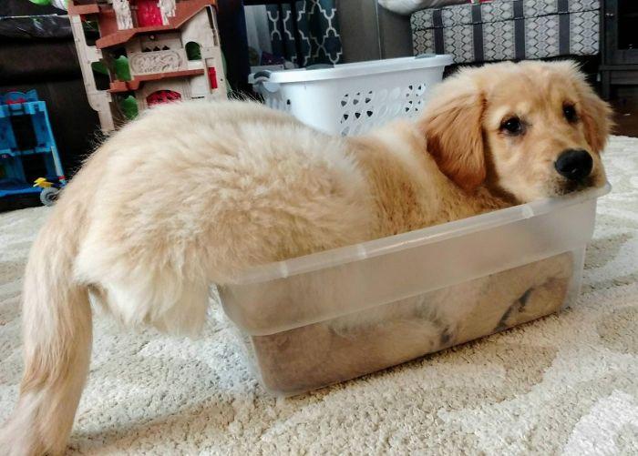 13 fotos que provam que os golden retrievers sao dos melhores cachorros de sempre6 - 13 fotos que provam que os Golden Retrievers são dos melhores cachorros de sempre
