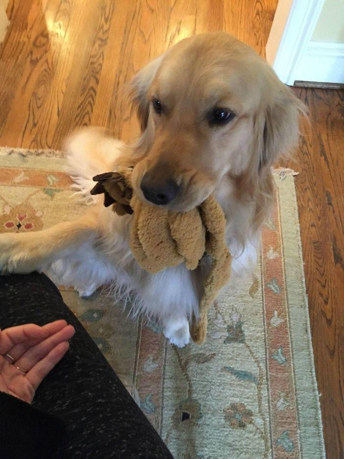 13 fotos que provam que os golden retrievers sao dos melhores cachorros de sempre7 - 13 fotos que provam que os Golden Retrievers são dos melhores cachorros de sempre