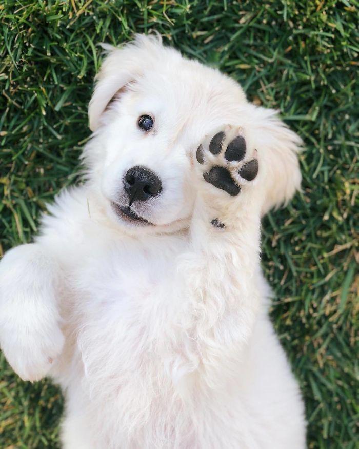 13 fotos que provam que os golden retrievers sao dos melhores cachorros de sempre9 - 13 fotos que provam que os Golden Retrievers são dos melhores cachorros de sempre