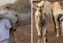 apos-morte-do-filho-seu-camelo-o-confortou-com-um-grande-abraco
